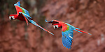 A pair of red-and-green macaws or green-winged macaws (Ara chloropterus) (Family Psittacidae) in flight over Buraco das Araras (Sinkhole of the Macaws), Jardim, Mato Grosso do Sul, Brazil. September.