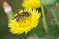 Gelbbindige Furchenbiene, Weibchen, Halictus scabiosae, Great Banded Furrow-Bee, female, Schmalbienen, Furchenbienen, Halictidae, Blütenbesuch an Gänsedistel, Sonchus