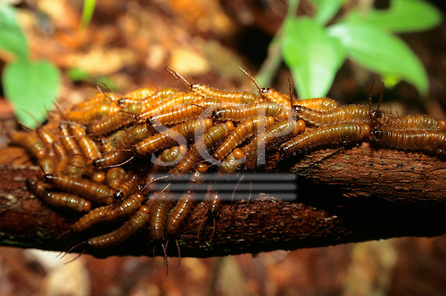 Amazon, Brazil. Mass of caterpillars on a tree trunk.