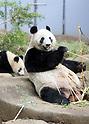 Giant panda Xiang Xiang and her mother Shin Shin at Ueno Zoological Gardens