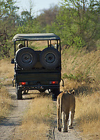 Lion following the safari vehicle while the people in the vehicle are looking for the lion.  All of this is happening in the Okavango Delta, Botswana Africa.