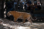 Young male Bengal Tiger (Panthera tigris) - around 20 months (late April 2009). Crossing forest track in front of tourist vehicles. Tulsi's offspring. Bandhavgarh NP, India.