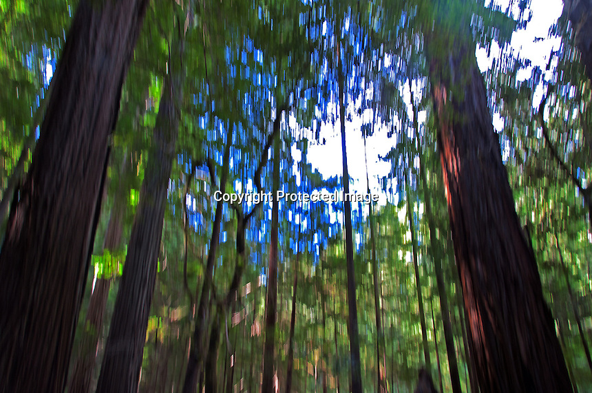 A beautiful day in the fall at Humbolt Redwood State Park, California. Mosaic-type shot created with deliberate motion blur.