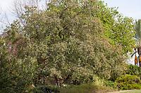 Quercus engelmannii (Engelmann Oak, Mesa Oak, Pasadena Oak) in Southern California demonstration garden by Western Municipal Water District, Riverside California