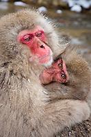 A Snow Monkey Mom embraces her child at Jigokudani National Park, near Nagano, Japan, February 2008