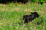 Black Lab running in the grass