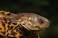 Western Ornate Box Turtle (Terrapene ornata ornate)