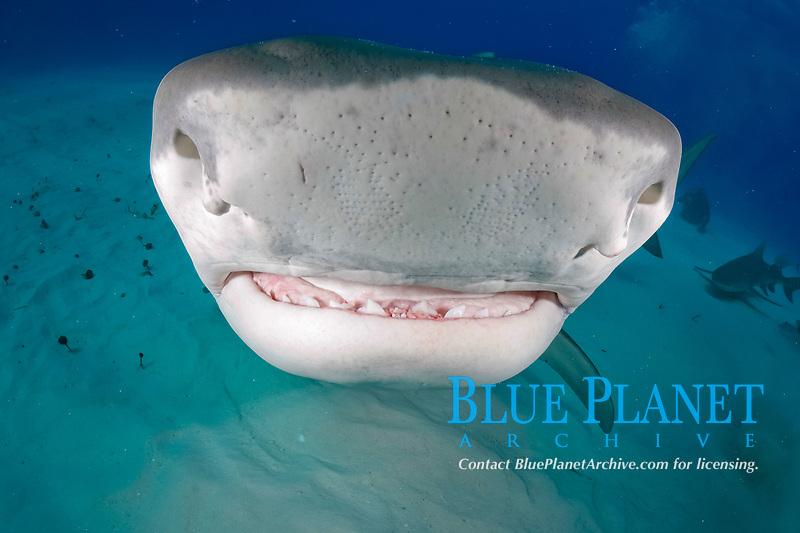 Tiger Shark, Galeocerdo cuvier, Tiger Beach, Freeport, Bahamas, Atlantic Ocean