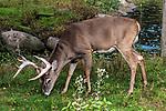 White-tailed Deer buck feeding on grass full body side view