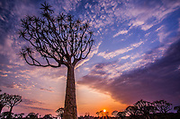 Quiver Tree Forest at Keetmanshoop, Namibia