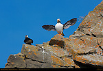Horned Puffin Display, Duck Island, Puffin Island, Tuxedni Bay, Cook Inlet, Alaska