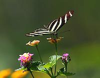 Zebra heliconian on lantana