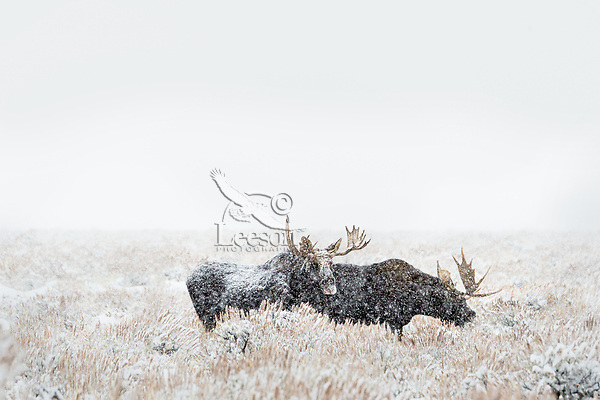 Two Bull Moose feeding out on sage flats during snowstorm.  Grand Teton National Park, Wyoming.   Snow.  Winter.