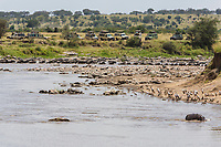 Tanzania. Serengeti. Vehicles Lined up to Watch Wildebeest Crossing of the Mara River on their Northward Migration. Hippo in lower right.