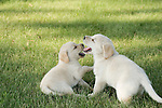 Yellow Labrador retriever (AKC) puppies playing together in the grass