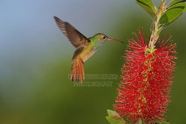 Buff-bellied Hummingbird (Amazilia yucatanenensis), adult feeding on Lemon Bottlebrush (Callistemon citrinus), Sinton, Corpus Christi, Coastal Bend, Texas Coast, USA