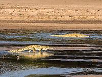 Nile crocodile, Crocodylus niloticus, adults, basking in the sun in South Luangwa National Park, Zambia