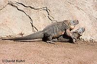 0629-1104  Mating Exuma Island Iguana (Northern Bahamian Rock Iguana), Bahamas, Cyclura cychlura figginsi  © David Kuhn/Dwight Kuhn Photography