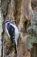 A male Hairy woodpecker works on a tree in Yost Park in Edmonds, Washington.