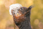 A squirrel sniffs a dandelion, leaving seeds on the end of it's nose by Niki Colemont