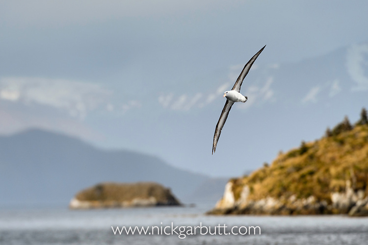 Black-browed albatross (Thalassarche melanophris) in flight over sea. Straits of Magellan, Patagonia, Chile