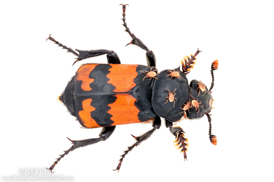 Sexton / Burying Beetle (Nicrophorus investigator) photographed on a white background in mobile field studio. This species feeds on carrion. A small vertebrate corpse such as a vole will be buried as a food source for the young once they hatch. The male and female frequently work together to bury the corpse. Phoretic mites can be seen on this individual. Derbyshire, UK. August.