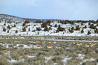 Antelope in snowy field near Burns, Oregon