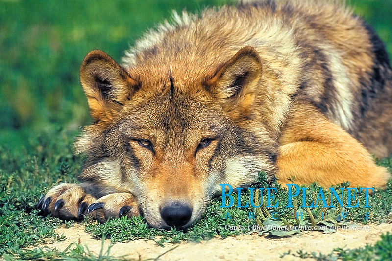 Eurasian wolf, common wolf, or Middle Russian forest wolf, Canis lupus lupus, a subspecies of gray wolf, or grey wolf, Canis lupus, adult, resting, Europe