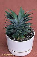TT19-013d  Asexual Reproduction - experiment cutting top of pineapple and placing in soil to grow new plant