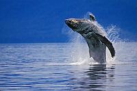 Humpback whale (Megaptera novaeangliae) breaching in S.E. Alaska.