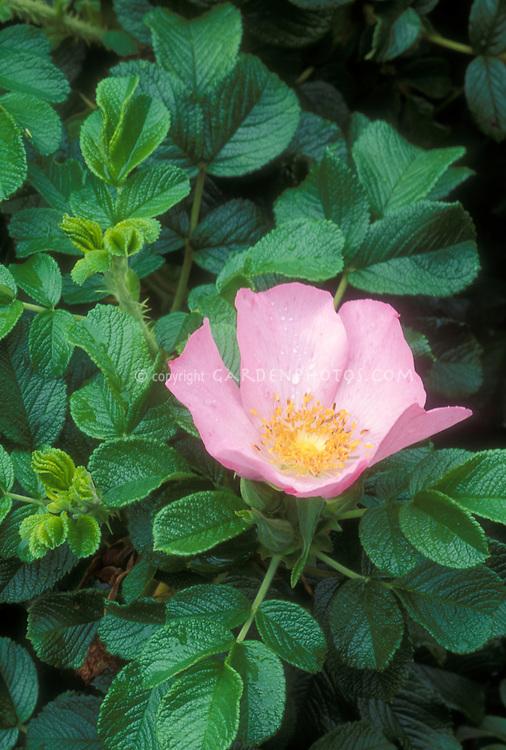 Rosa rugosa 'Frau Dagmar Hartopp'  in flower, hybrid from 1914, antique heirloom, with pretty foliage and nice fragrance of bloom