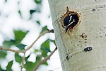 bird, nesting cavity, aspen, Populus tremuloides, tree, forest, nature, abstract, summer, Rocky Mountain National Park, Colorado, Rocky Mountains, USA
