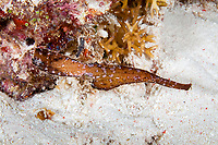 Robust ghost pipefish, Solenostomus cynopterus, Tubbataha Natural Park, Natural World Heritage Site, Sulu Sea, Cagayancillo, Palawan, Philippines