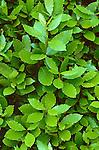 9077-CD Sweet Bay Tree, Grecian Laurel, Laurus nobilis, foliage, at Huntington Gardens, San Marino, CA USA