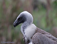 0216-08rr  African White-backed Vulture, Gyps africanus © David Kuhn/Dwight Kuhn Photography