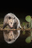 Virginia Opossum, Didelphis virginiana, adult at night at ponds edge, Uvalde County, Hill Country, Texas, USA, April 2006