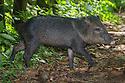 Collared Peccary (Tayassu tajacu) Corcovado National Park, Osa Peninsula, Costa Rica, May.