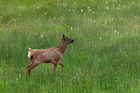 Elk fawn at Yellowstone National Park, Wyoming