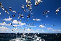 Silver Gulls in flight off Wollongong