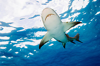 Lemon shark, Negaprion brevirostris, Swimming at surface, Tiger Beach, Bahamas, Caribbean Sea, Atlantic Ocean