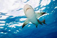 Lemon shark, Negaprion brevirostris, Swimming at surface, Tiger Beach, Bahamas, Caribbean Sea, Atlantic Ocean