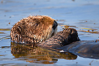 Enhydra lutris nereis, Sea otter, A sea otter, resting on its back, holding its paw out of the water for warmth, While the sea otter has extremely dense fur on its body, the fur is less dense on its head, arms and paws so it will hold these out of the cold water to conserve body heat,, Elkhorn Slough National Estuarine Research Reserve, Moss Landing, California, USA