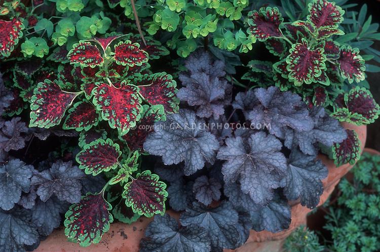 Coleus (Solenostemon), Heuchera & Euphorbia foliage plants