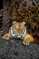 Siberian Tiger (Panthera Tigris Altaica) Endangered Species.