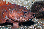 Gulf Toadfish medium shot