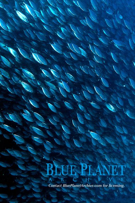 bigeye scad, Selar crumenophthalmus, schooling, La Paz, Baja California Sur, Mexico, Gulf of California, Sea of Cortez, Pacific Ocean