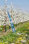 Germany, Baden-Wurttemberg, Kaiserstuhl: blossoming cherry trees | Deutschland, Baden-Wuerttemberg, Kaiserstuhl: Kirschbaeume in voller Bluete