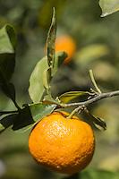 Europe/France/Provence-Alpes-Côte d'Azur/Alpes-Maritimes/Menton: Oranges amères - La Citronneraie est située à flanc de la colline de l'Annonciade, berceau de Menton