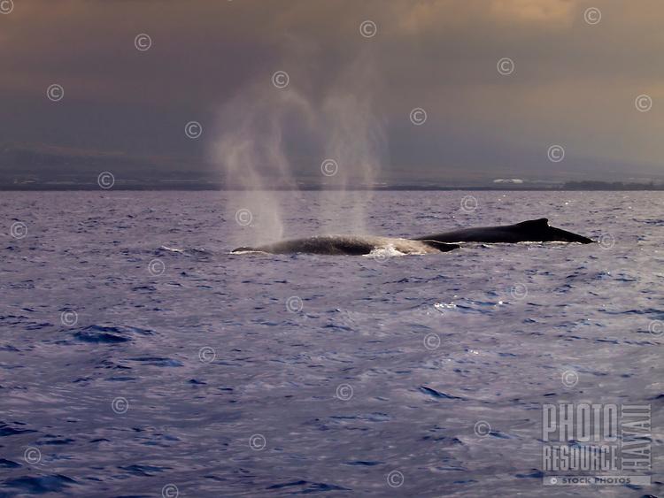 Upon breaching, two humpback whales' exhalations make a heart shape above them, Kailua Kona, Big Island.