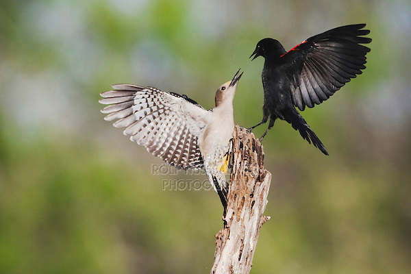 Golden-fronted Woodpecker (Melanerpes aurifrons), female fighting with Red-winged Blackbird (Agelaius phoeniceus), Sinton, Corpus Christi, Coastal Bend, Texas, USA